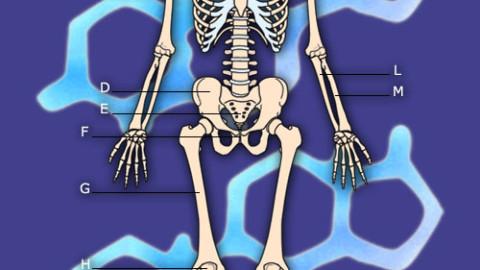 Anatomi – Skjelettet