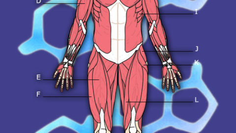 Anatomi – Muskler